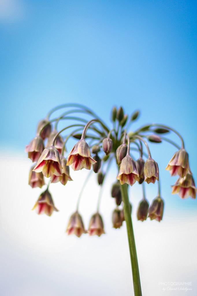 Glockenblume / bellflower