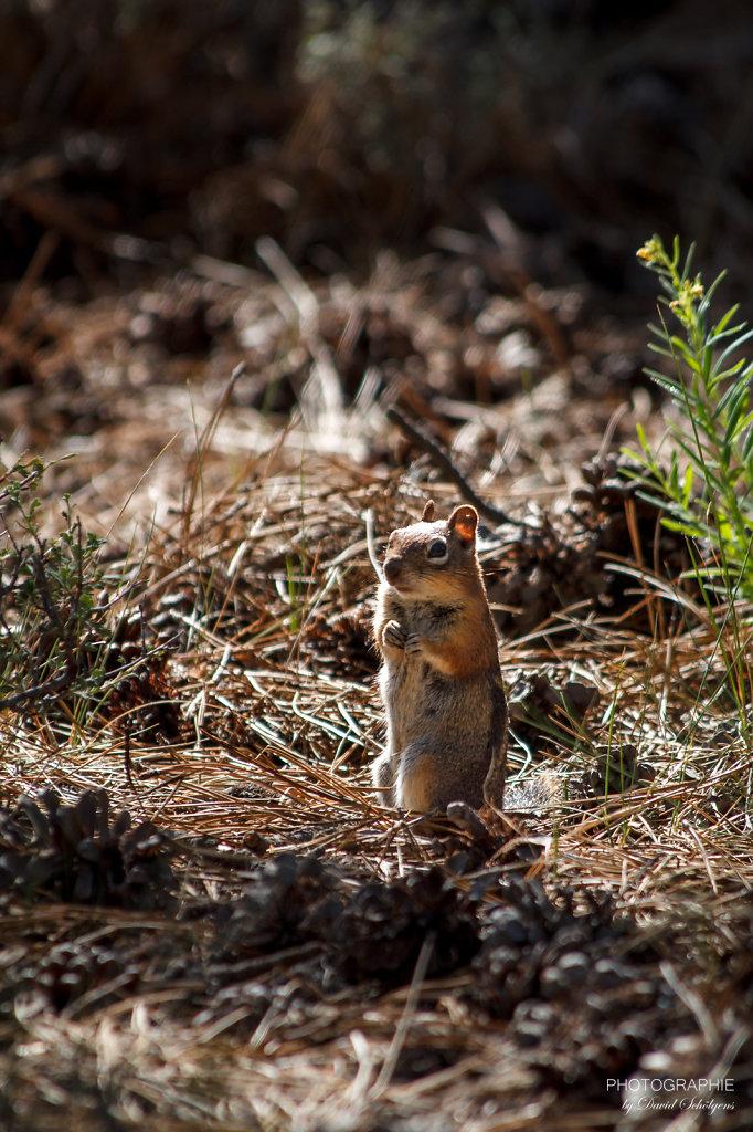 Streifenhörnchen / chipmunk
