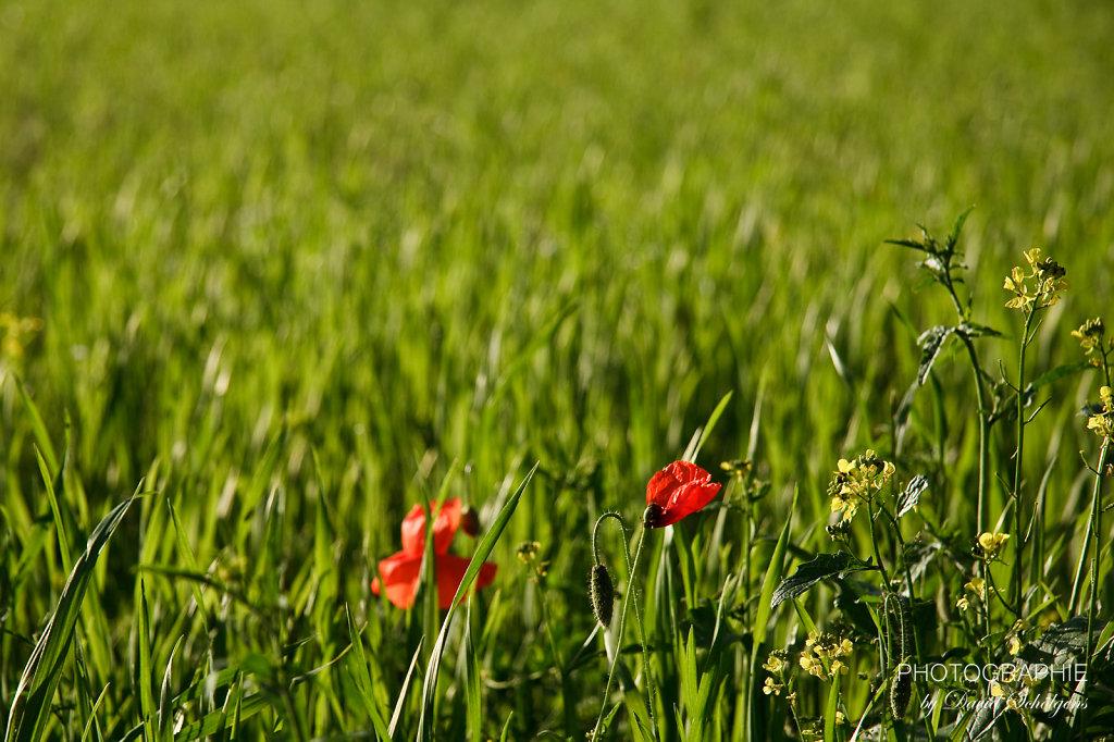 Mohnblumen im Gras / red poppy in the lawn